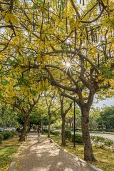 Cassia fistula (xhowardlee) Tags: summer branch floral thai yellow national beautiful fistula texture thailand golden decorative flowers tropical decoration vishu flora shower tree plant nature natural kerala art flower green bloom blossom cassia detail petals