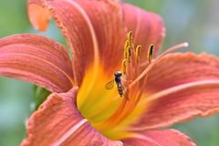Nectar my sweet nectar (only_sepp) Tags: macro fiore api insetti pianta acceso motivo organico nettare allaperto fioritura pistillo allnaturesparadise