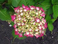 Between Rain Storms. Hydrangea, Our Garden, Venlo, The Netherlands (Rana Pipiens) Tags: japan hydrangeamacrophylla floods westvirginiausa rain ourgarden rainflower hortensia