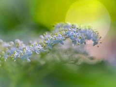 Light in Summer (Shannonsong) Tags: morning flowers light summer white nature floral morninglight am dof bokeh blossoms elderberry sambucus adoxaceae