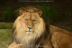 Afrikaanse leeuw - Panthera leo leo - African Lion (MrTDiddy) Tags: male cat mammal zoo big kat feline leo african lion bigcat antwerp antwerpen zooantwerpen grote nestor leeuw panthera zoogdier afrikaanse grotekat mennelijk