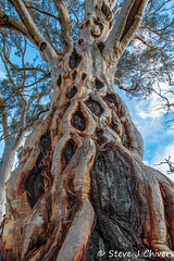 What's with this tree? Lake George, NSW. (Steve J Chivers) Tags: tree eucalyptus eucalypt gumtree scar scarred bark hole hollow pattern disease fire burn burnt pathogen pathogenic explored hiking nature