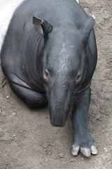 Malayan tapir (BarryFackler) Tags: life vacation nature ecology animal fauna asian mammal zoo midwest nebraska asia indoor jungle omaha creature biology omahazoo tapir zoology organism henrydoorlyzoo 2016 omahane omahanebraska malayantapir liedjungle tapirusindicus barryfackler barronfackler henrydoorlyzooandaquarium tindicus