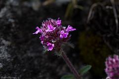 IMG_0822-271 (Martin1104) Tags: fotografie natuur bergen landschap vlinders yagodina snp bulgarije natuurfotografie natuurreis