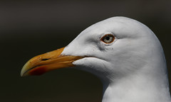 A gull's eye (Duevel) Tags: bird eye gull meeuw kop vogel oog snavel