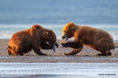come on ...just a little piece... (820-Photography by James Anderson) Tags: alaska grizzlybear alaskanbrownbear katmainationalpark grizzlybearofalaska