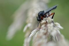 Fliege 2 (DianaFE) Tags: makro insekt fliege kfer schrfentiefe tiefenschrfe freihandmakro dianafe