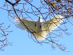 landing (jeaniephelan) Tags: cockatoo australianbird sulphurcrestedwhitecockatoo