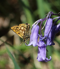 Under skipper (Chris B@rlow) Tags: nature animal fauna canon butterfly insect outdoors scotland wildlife skipper butterflies lepidoptera bluebell scottishwildlife carterocephaluspalaemon ukbutterflies hyacinthoidesnonscripta chequeredskipper canon7d nationalnaturereserves glasdrumwoodnnr