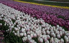 DSC_3818 (Copy) (pandjt) Tags: flowers bc tulip abbotsford tulipfestival abbotsfordtulipfestival