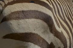 Zbre (Michel Seguret Thanks all for 8.400 000 views) Tags: park wild france animal animals nikon reserve zebra pro animaux aude parc tier d800 afrique sauvage africaine cebra zbre sigean michelseguret