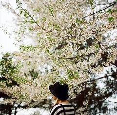 Cherry Blossoms (childishToy*) Tags: film photography spring blossom kodak hasselblad cherryblossoms yangpyeong hasselblad503cx ektar100