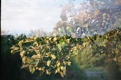 Waking Up to Summer (AirSonka) Tags: tree film leaves fruit analog 35mm spring lomo branch doubleexposure toycamera multipleexposure analogue smena appletree smena8m doubleexposed pelcula filmphotography pellicule agfavista200 airsonka doppelbelichtung soniakaniss