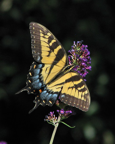 lady Tiger visits the purple butterfly bush - yesterday