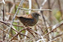 Accenteur mouchet (ijmd) Tags: bird oiseau france bretagne ledebatz