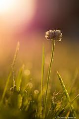 Soltisce d't! (pascaleforest) Tags: summer macro fleur nikon passion t rayons matin douceur