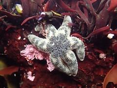 Yaquina Head tide pools, six-rayed sea star (BLMOregon) Tags: underwater sealife pacificocean newport pacificnorthwest oregoncoast yaquinahead tidepools tidepool pacificcoast oceanlife newportoregon yaquina underwaterlife