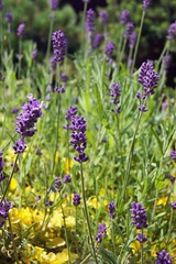 Lavender (Jesika Pelcov) Tags: summer green nature beautiful grass sony violet lavender a33