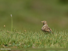 Greater Short-toed Lark (Calandrella brachydactyla) (gilgit2) Tags: pakistan birds fauna canon geotagged wings wildlife feathers tags location species tamron category avifauna shandur ghizer calandrellabrachydactyla gilgitbaltistan imranshah canoneos7dmarkii tamronsp150600mmf563divcusd greatershorttoedlarkcalandrellabrachydactyla gilgit2