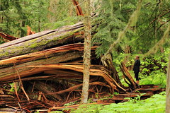 Fallen Cedar (Steve Boer) Tags: tree forest big ancient bc britishcolumbia cedar fallen ancientforest