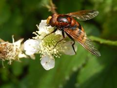 Stadsreus (Volucella zonaria),  (Frank Berbers) Tags: insect diptera syrphidae tweevleugeligen zweefvlieg stadsreus hoornaarzweefvlieg volucellazonaria schwebfliege hornissenschwebfliege grosewaldschwebfliege hornetmimichoverfly volucellezone mimicry zuidlimburg nederland hoverfly vlieg fliege fly