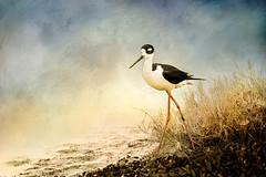 Black Necked Stilt (Stevie Benintende) Tags: ca birds painterly blackneckedstilt bolsachica huntingtonbeach texture
