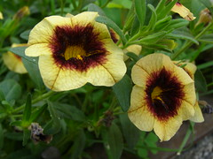Mini Petunia, Calibrachoa 'Banana Chocolate' (Sasho Popov) Tags: nature petunia doublefantasy