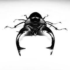 stag beetle close up rx100iv (chrisfergusonworks) Tags: blackandwhite closeup sony indiana southernindiana rx lightroom stagbeetle santaclausindiana chrisferguson flashdiffuser rx100 rx100iv sonyrx100iv