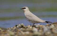 / Small Partincole / Glareola lactea (bambusabird) Tags: birds animals thailand wildlife tropical chiangmai oriental wetland bambusabird partincole