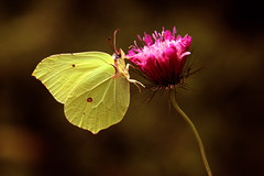 Lemon Butterfly (Ephemeral Movies) Tags: colour macro yellow butterfly lemon greece incect epirus