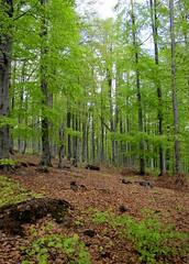 tavaszi erdő / spring forest (debreczeniemoke) Tags: green forest landscape spring land tavasz táj tájkép zöld erdő rozsály canonpowershotsx20is igniş