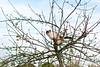Fame is but a fruit tree (Kyre Wood) Tags: tree apple cat canon 50mm kitten f14 saturday cider orchard usm ef birman suu kyi bulmers
