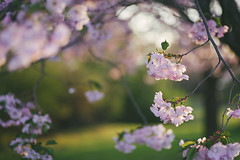 More cherry tree flowers :) (~ Maria ~) Tags: pink green season spring dof sweden bokeh cherryblossom sakura cherrytree goldenhour d800 tamron90mm cherryflowers 2013 mariakallin nikond800 cherrytreesinbloom