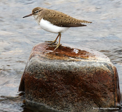 Common Sandpiper (forresloon) Tags: bird nature commonsandpiper actitishypoleucos