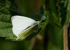 green-veined white (roly2008.) Tags: white canon butterfly insect wildlife dorset 100400mm greenveinedwhite powerstock