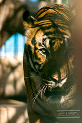 Tiger (Anahita Hashmani) Tags: tourism animal animals photography zoo dubai photographer tour wildlife tiger uae breeding tigers captivity dubaizoo femalephotographer anahitahashmani