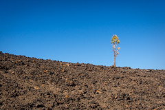 Tree in rocky area (Frank Lindecke) Tags: blue vacation sky holiday tree green spain rocks urlaub himmel steine tenerife grn blau teide teneriffa baum spanien vulcano vulkan kanarischeinseln guadeisora