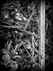 Fairy gate (jbwan) Tags: old bw tree leaves gate rustic hidden fairy forgotten hedge unused