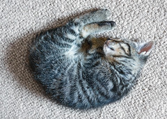 Sleeping monster (danielecarotenuto.co.uk) Tags: sleeping cute cat fur relax carpet scotland furry kitten feline unitedkingdom tabby indoor sleepy pause boness