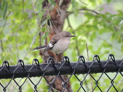 DSCN0021 (rlg) Tags: bird animal june fence northernmockingbird 13 thursday mockingbird 0613 fpr 2013 201306 nikonp510 20130613 06132013