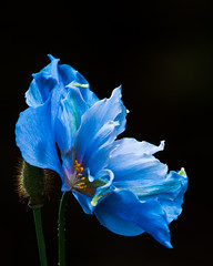 Blue Himalayan poppy, vanDusen gardens, Vancouver (gks18) Tags: park blue light flower macro nature floral beautiful closeup vancouver canon garden soft bc outdoor bloom onblack vandusen naturethroughthelens