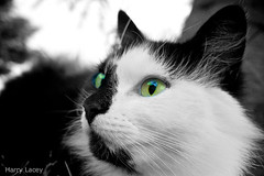 The Focused Cat (The Papahazzi) Tags: uk england blackandwhite white black colour art animals boston cat photography eyes different artistic lincolnshire sharp cateyes partial wrangle nex5