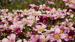 Garden Colours - Pink (Clif Budden) Tags: flowers color colour me garden pansy forget not