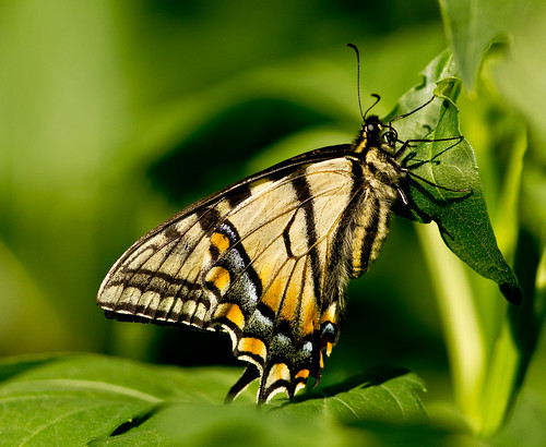 Eastern Tiger Swallowtail ( Pterourus glaucus) (23 of 36)
