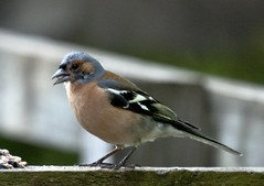 Chaffinch (marra121) Tags: wood lake water robin birds duck cumbria mallard whitehaven chaffinch longlands