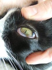 Thorn lodged in cat eye (Rayya The Vet) Tags: blackandwhite cat feline vet anaesthetic domesticshorthair vetemergency vetophthalmology thornlodgedineye