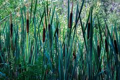 Cattails (Crystal_rivera) Tags: trees green pond cattails pondplants