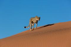 20130616_Namibia_Kiki_at_Dunes_0134.jpg (Bill Popik) Tags: africa kiki mammals namibia cheetahs 2places 3animals africancats