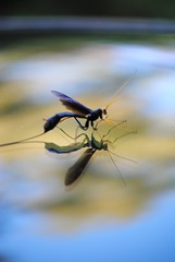 (Schuyler H. Miller) Tags: blue black macro nature yellow bug insect wings wasp legs ichneumon antenna thorax