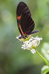 Butterfly (Sumalee) Tags: holland netherlands dutch butterfly nederland vlinder leidschendam vlindertuin vlindorado